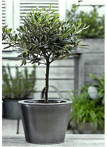 Olivebaum.png
